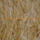 contingente arancelario de los cereales